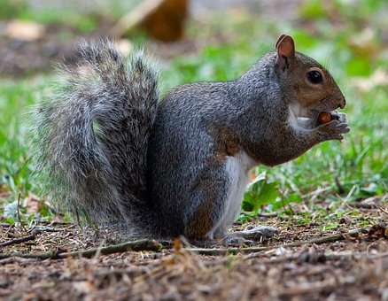 Grey Squirrel, Squirrel, Grey, Wild, Brown, Mammal