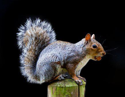 Grey Squirrel, Squirrel Watching, Squirrel, Cute, Grey