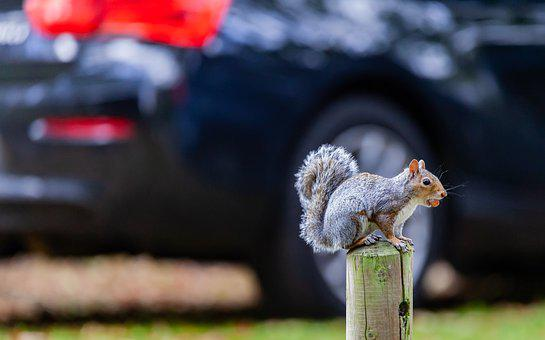 Grey Squirrel, Squirrel, Cute, Grey, Wild, Brown