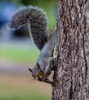 Grey Squirrel, Squirrel, Squirrel In A Tree, Grey, Wild