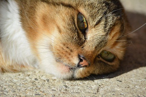 Cat, Animal, The Head Of The, Face, Eyes, Lies, Home