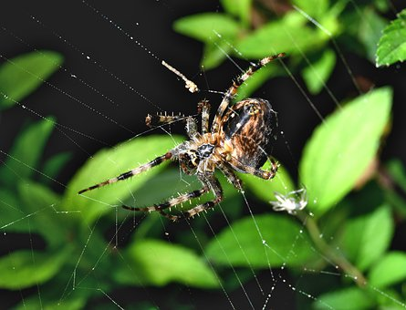 Spider, Web, Insect, Nature, Animal, Paws