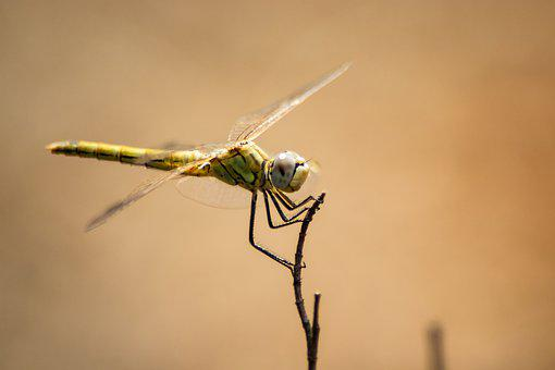 Ważka, Insect, Nature, Macro, Dragonflies, Animals
