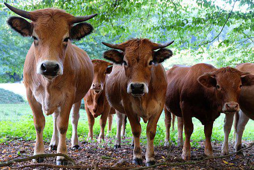 Cattle, Animal, Meadow, Landscape, Agriculture, Nature