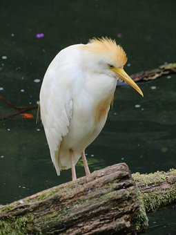 Cattle Egret, Bird, Egret, Nature, White, Animal