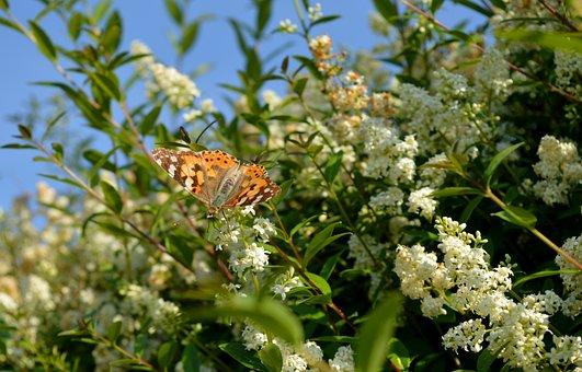 Privet Bloom, Butterfly, Hedge, Leaves, Summer, Nature