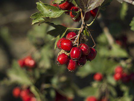 Hawthorn, Berry, Autumn, Leaves, Tree, Nature, Red