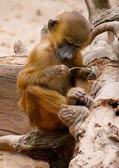 Animal World, Monkey, Baboon, Sphinx Baboon, Primate