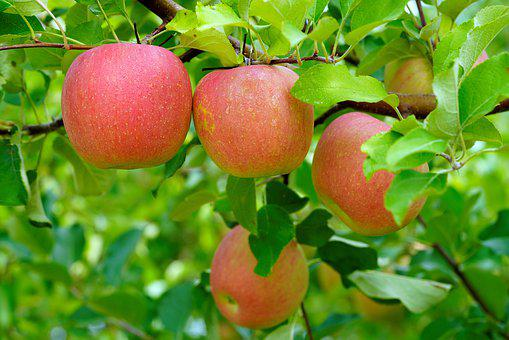 Apple, Orchard, Red, Fruit, A Fruit Farm, Butterfly