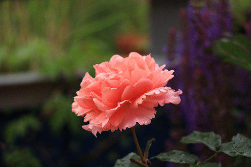 Rose, Salmon Colored, Tender, Mood, Filled, Romantic