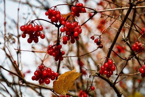 Viburnum, Berry, Autumn, Red, Therapeutic, Shrub