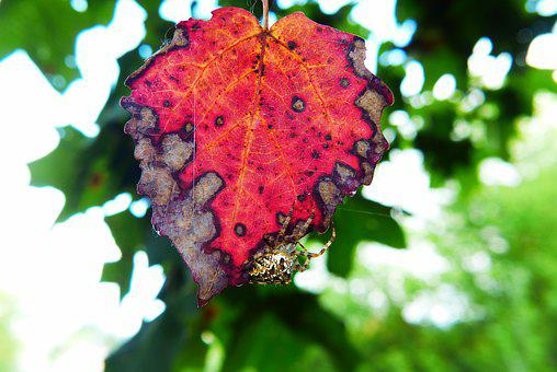 Signs Of Autumn, Leaf, Forest, Insect, Spider, Araneus