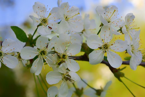 Apple Tree, Flowers, Sky, Spring, Blooming, White