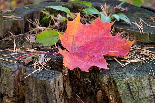 Stump, Old, Maple Leaf, Red, Needles, Nature, Autumn
