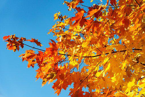 Autumn, Maple, Foliage, Colorful, Fall Foliage, Tree