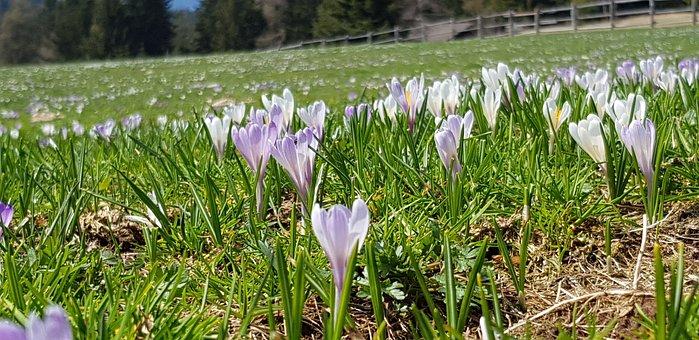 Flowers, Crocus, Hafling, Meran, Alm, Mountains, Spring
