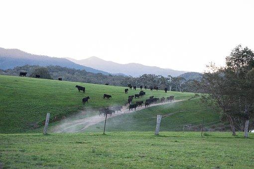 Cow, Cattle, Black Angus, Livestock, Bovine, Animal