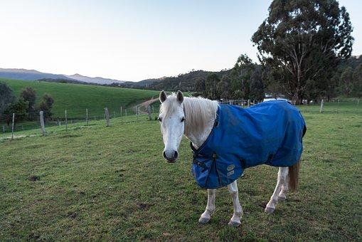 Horse, Pony, Australian Pony, Animal, Mammal