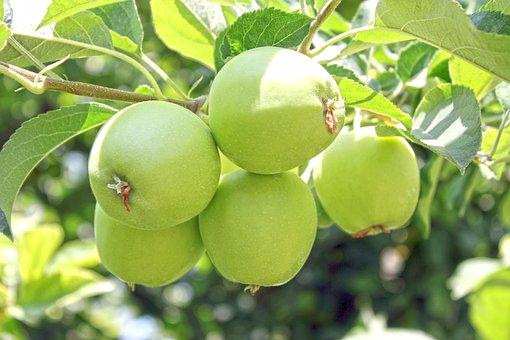 Apple, Apples On The Branch, Branch, Fresh, Bud, Tree