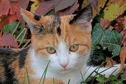 Cat, Pet, Autumn, Colorful, Domestic Cat, Cat's Eyes