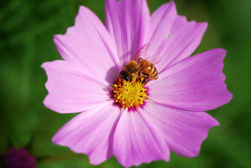 Cosmos, Bee, Autumn, Flowers, Nature, Plants, Garden