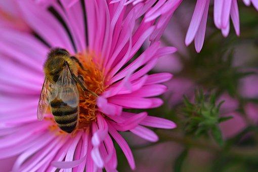 Nature, Herbstaster, Garden, Bright, Bee, Farbenpracht