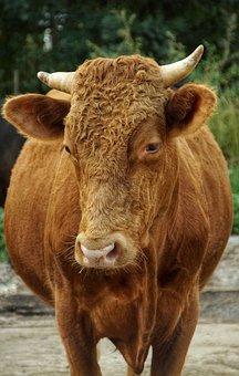 Limousin Cattle, Bull, Farm, Cattle Breeding, Horns