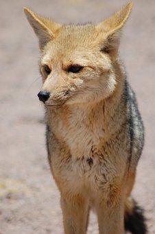 South American Gray Fox, Patagonian Fox, Chile, Desert