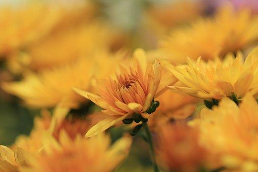 Chrysanthemum, Chrysanthemums, Flowers, Plants, Yellow