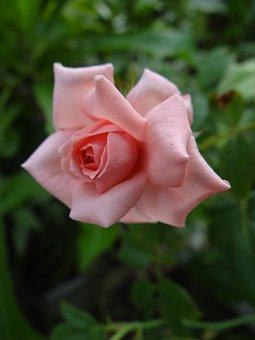 Pink, Close Up, Rose, Bloom, Flower, Blossom, Nature