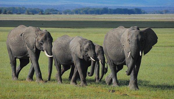 Elephants, Kenya, Community, Family, Africa, Safari