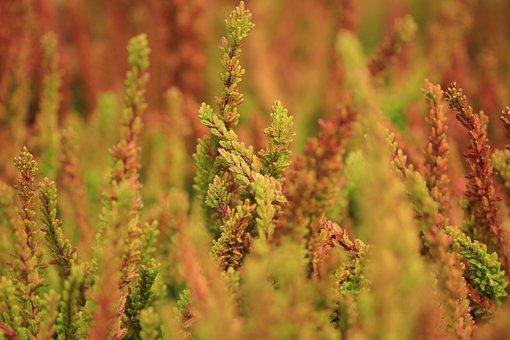 Heide, Plant, Plants, Autumn, Fall Colors, Autumn Color