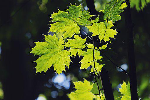 Leaves, Maple, Forest, Autumn, Green, Fall Foliage