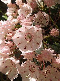 Virginia Mountain Laurels, Flower Clusters