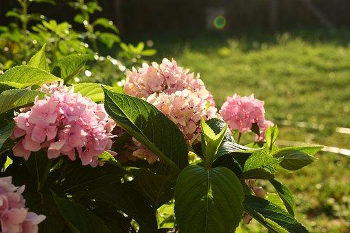 Hydrangea, Plant, Flowers, Flower, Garden, Petals, Pink