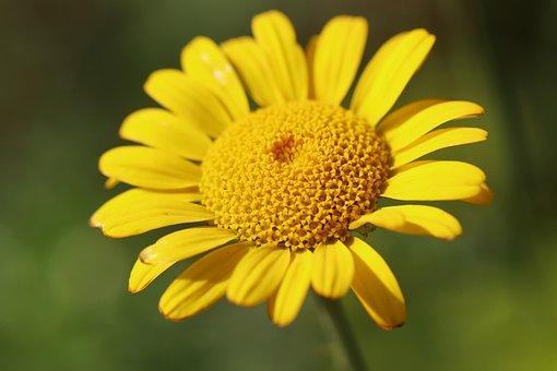 Flowers, Cota, Cota Tinctoria Anthemis Tinctoria