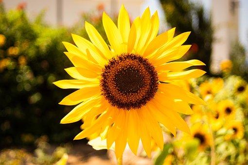 Sunflower, Flower, Yellow, Summer, Flowers, Plant