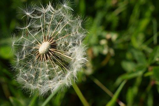 Dandelion, Flower, Nature, Spring, Seeds, Fluffy, Grass