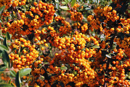 Autumn, Fruit, Plant, Nature, Red, Fresh, Food, Color