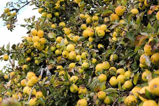 Apple, Apple Tree, Autumn, Yellow, Fruit, Food