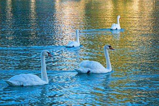 Swan, White, Pride, Animal, Group, Bird, Water