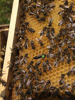 Honey Bees, Honeycomb, Bee, Beekeeping, Hive, Nature