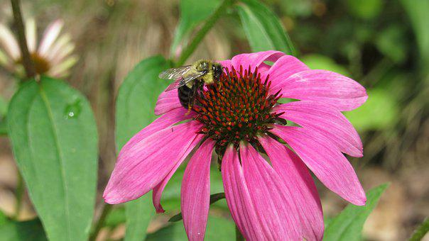 Bee, Flower, Insects, Nature, Bloom, Garden