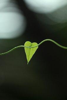 Kerala, India, Leaf, Creeper, Plant, Ivy, Nature