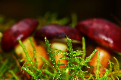 Moss, Forest Litter, Undergrowth, Mushrooms, Podgrzybki