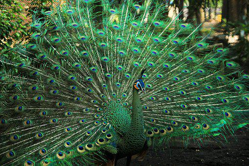Green, Color, Peacock, Colorful, Nature, Beautiful