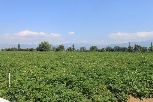 Potato Field, Natural, Field, Nature, Food