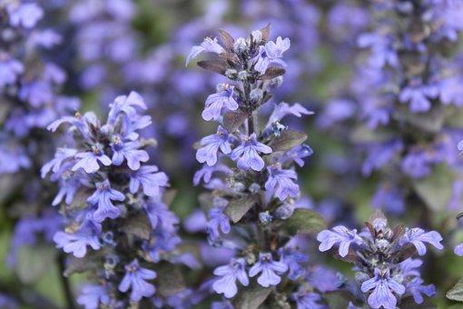 Flowers, Violet, Garden, Plant