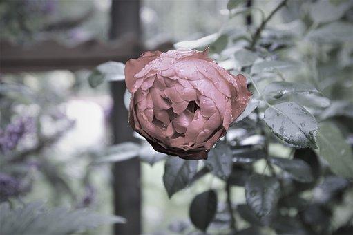 Flower, Sad, Plant, Mourning, Love, Beautiful, Rose