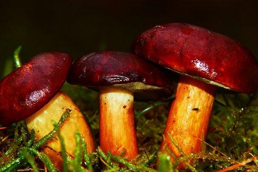 Podgrzybki, Mushrooms, Hats, Moss, Forest, Rain, Wet